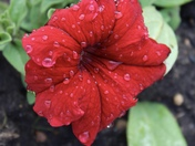 Water droplets on my Petunia
