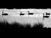 Silhouhette goose swim at flitcham