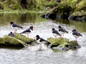 Oyster catchers in the pond at Flitcham