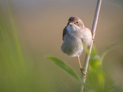 Whitethroat up early