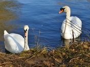 SWANS AT PENSTHORPE
