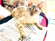 Snow bengal Bengie enjoying the EDP puzzle page!