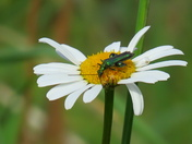 Swollen-Thighed Beetle