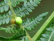 Green Orb-Weaver Spider