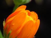 Old English Marigold