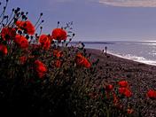 Felixstowe poppies
