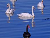 Levington swans
