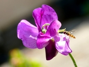 Hoverfly on Sweet pea flower.