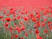 Keswick poppy fields