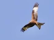 Magnificent red kite out hunting