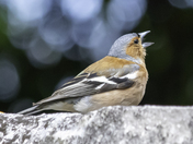 Chaffinch in full voice