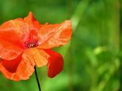Common Red Poppy