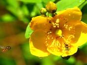 Hoverflies visiting Hypericum blooms