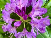 Project 52.. rhododendron abstract