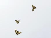 Swallowtail Trio