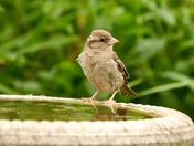 Sparrow on the bird bath