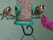 Bird's eye view for two goldfinches