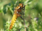 Early morning Dragonfly