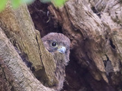 Young kestrel chick