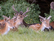 Fallow bucks with their velvet antlers